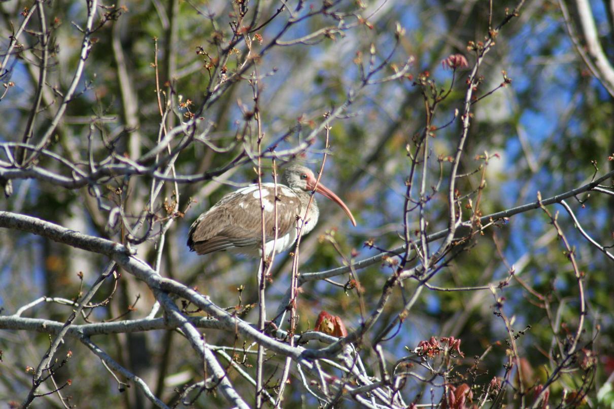 jv ibis