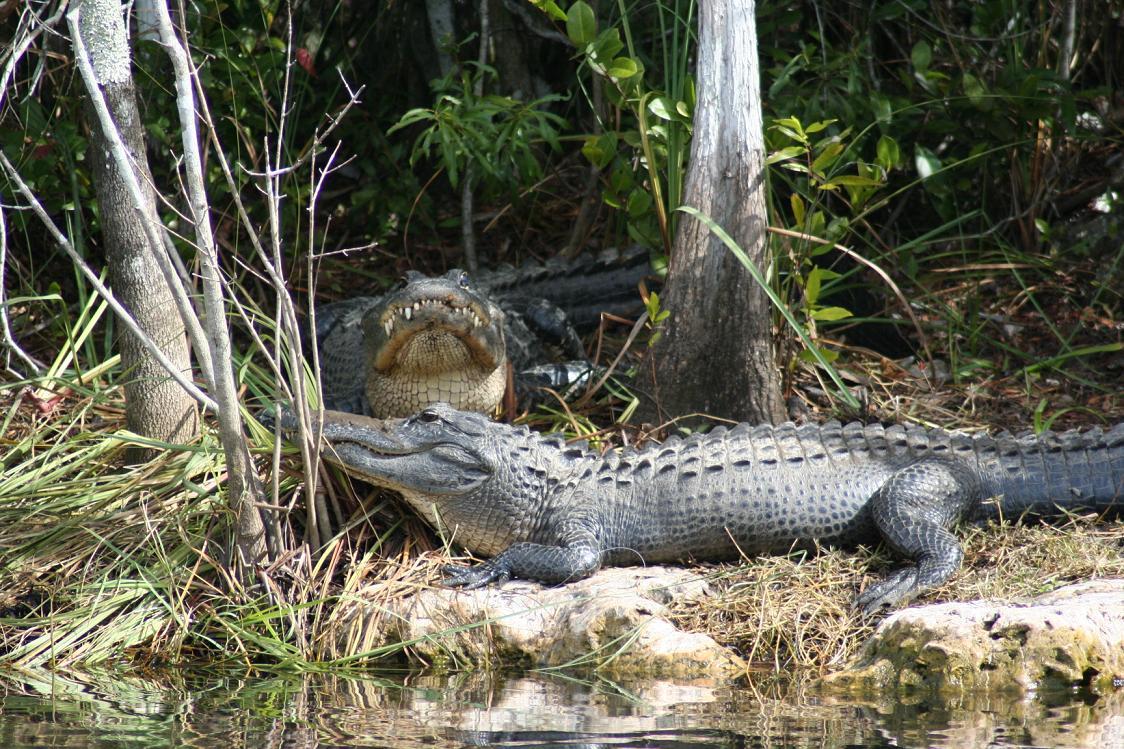 snuggling gators