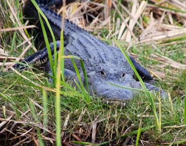 gator-everglades